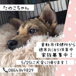 倉敷っ子たのこちゃんお泊り保育最終日→譲渡決定!