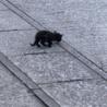 真っ黒の生後2、3週間の子猫です。