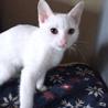 みなと1号★甘えん坊&食いしん坊な白子猫♂ サムネイル5