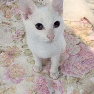 みなと4号★超スリゴロ&ベタ甘な白子猫♂