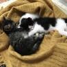 子猫2匹一緒に家族にして下さる方を募集致します