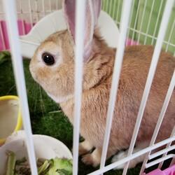 「先住にウサギがいますがチンチラかモルモットを欲しい」サムネイル1
