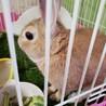 先住にウサギがいますがチンチラかモルモットを欲しい