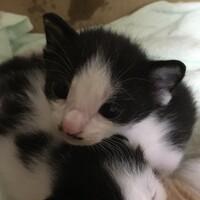 白黒ブチ柄の子猫