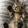 生後2ヶ月程の子猫キジトラ