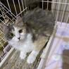 珍しいパステル長毛三毛 超美猫です!