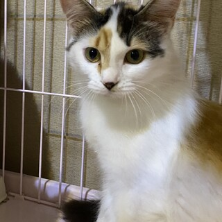 綺麗な白三毛さん 超美猫です!