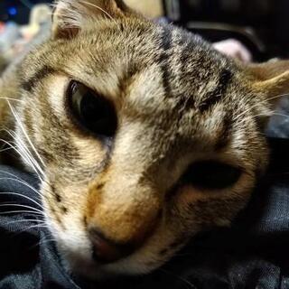 綺麗なお顔のキジトラ