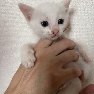 おとなしい白子猫おとこのこʕ•ᴥ•ʔ