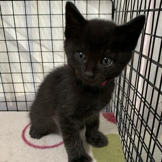 生後1ヶ月半 黒猫ももちゃん