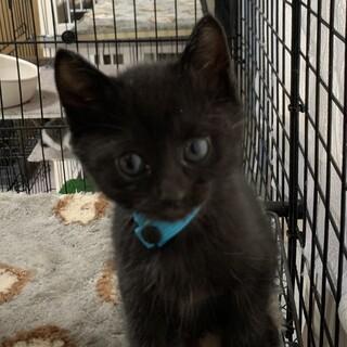 生後1ヶ月半 黒猫あおちゃん