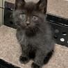 生後1ヶ月 黒猫みどりちゃん