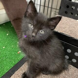 生後1ヶ月半 黒猫むらさきちゃん