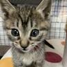 生後1ヶ月半 キジ猫いちごちゃん