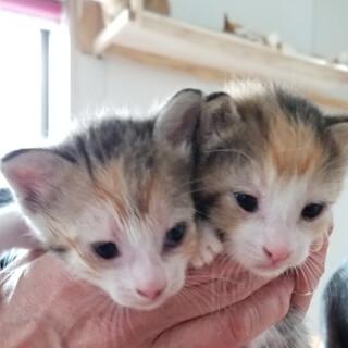 可愛い三毛猫姉妹♡