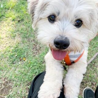 1歳の小型犬ミックス お散歩が大好きな男の子!