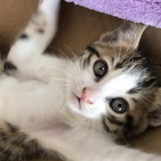 生後2か月 キジ白の子猫