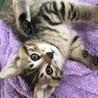 生後2か月 キジトラの子猫