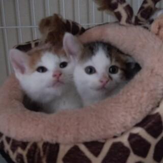 1.5カ月の子猫きょうだい