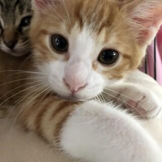 3月生まれの子猫 春野草兄妹 タンポポ♂