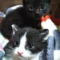 応募多数のため募集停止中: 1ヶ月半かわいい姉弟猫