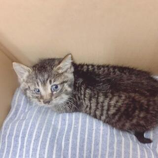 キジトラ?サバトラ?綺麗な1ヶ月半の子猫