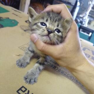 子猫のお家を探しています(キジトラ①)