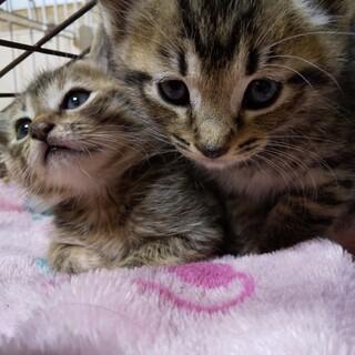 美きじ子猫兄弟