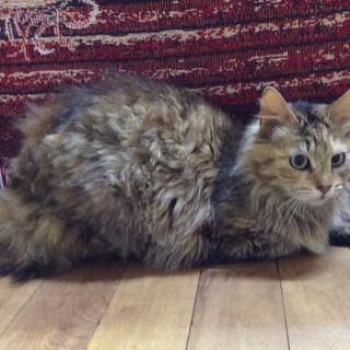 長毛で温和な大人猫さん、人慣れしています