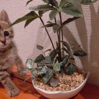 保健所保護猫推定1ヶ月半三匹兄弟の女の子