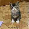 美きじしろ子猫