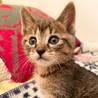 【ケヤッキー】人馴れOKのキジトラ元気者子猫