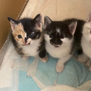 【仔猫2匹里親募集】白黒、三毛(生後1ヶ月)