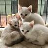 青い瞳の白い妖精3兄妹お膝でゴロゴロ サムネイル4