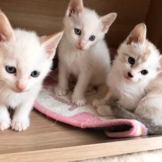 青い瞳の白い妖精3兄妹お膝でゴロゴロ
