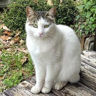 約2歳の美猫、ポーラちゃん、なんか色っぽいんです。