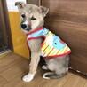 野犬の子犬、ポコちゃんです。動画あり。