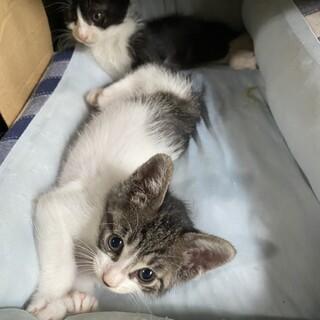空き家でうまれた仔猫白にキジぶちちゃん