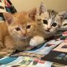 仲良し2匹!サバトラ女子、茶トラ男子のかわいい子猫