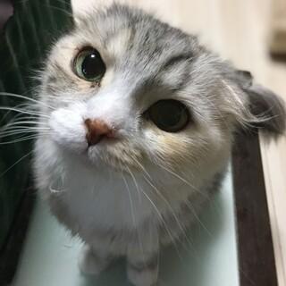 スコティッシュフォールド  折れ耳成猫4歳の女の子
