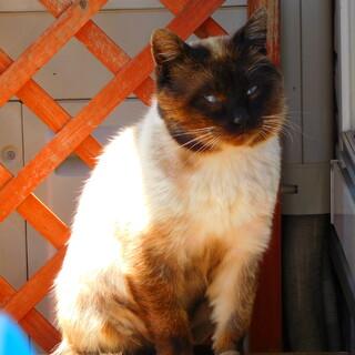 ヒマラヤンのような洋猫です。
