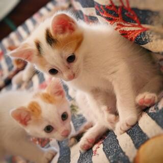仲良し兄妹2匹!三毛女子、茶白男子のかわいい子猫