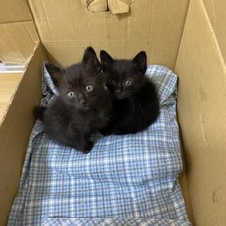 黒猫 2匹 兄弟