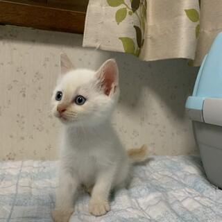 トライアル決定!わんぱく5兄弟の白猫くん♡