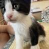 ハチワレ 子猫さん オス とても元気
