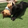 大型犬★大和 サムネイル4