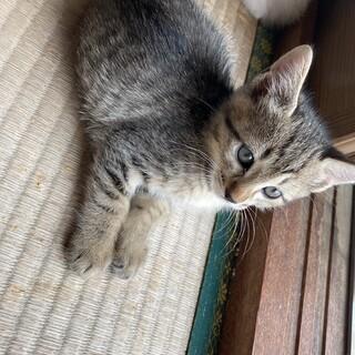 4月生まれの子猫オスメスキジトラ兄妹