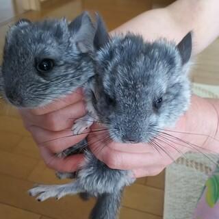チンチラ(ネズミ)二匹です