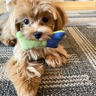 6ヶ月の子犬のマルプー、ランちゃん!