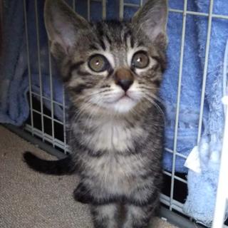 ■大人しくて控えめな可愛い仔猫♪ミロとミク♀2か月